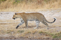 Leopard walking Stock Photo