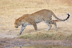Leopard walking. Male leopard (Panthera pardus) walking, Sabie-Sand nature reserve, South Africa Royalty Free Stock Images