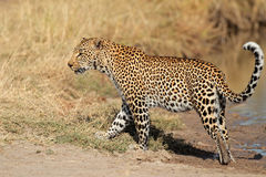 leopard walking 库存照片