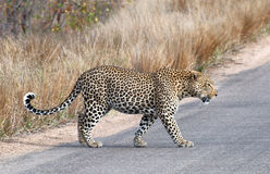 Leopard walking. On tar road Royalty Free Stock Photo