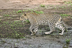 Leopard walking  Stock Images