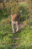 A leopard walking Royalty Free Stock Photography