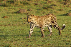 leopard walking across the plains Royalty Free Stock Photo