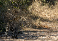 Leopard walking along a dry river bed Royalty Free Stock Image