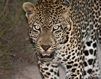 Leopard walking along a road at night Stock Images