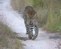 Leopard walking along a road at night Stock Photography
