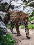 A leopard walking amongst the stone. stock photography