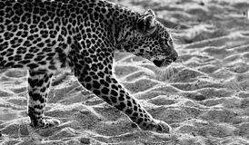 Leopard Walking. Black and white image of a leopard walking in the sand Royalty Free Stock Photography