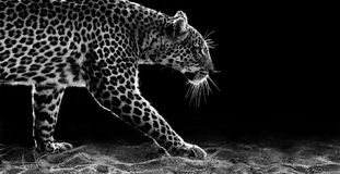 Leopard Walking. Black and white image of a leopard walking in the sand Royalty Free Stock Image