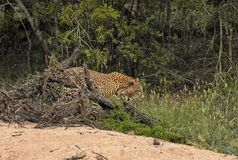 Leopard walking in the brush Stock Photography