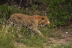 Leopard walking in the brush Royalty Free Stock Images