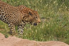 Leopard walking in the brush Royalty Free Stock Photography