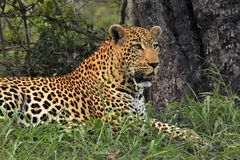 Leopard walking in the brush Stock Photo