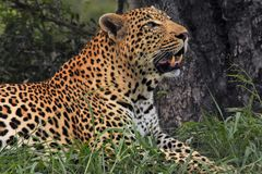 Leopard walking in the brush. Male leopard walking in the brush Royalty Free Stock Photography