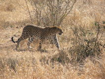Leopard walking through bush Royalty Free Stock Photography