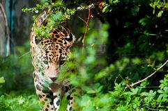 Leopard. Is walking in the deep forest Stock Photos