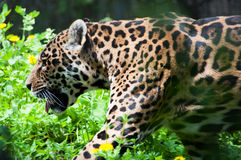 Leopard. Is walking in the deep forest Stock Image