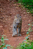 Leopard walking in forest Royalty Free Stock Photography
