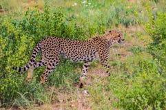 A leopard walking in the forest. In Samburu Park in central Kenya stock photos