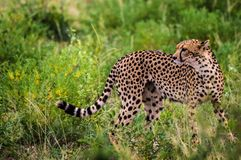 A leopard walking in the forest. In Samburu Park in central Kenya royalty free stock photo
