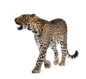 Leopard walking in front of a white background. Leopard, Panthera pardus, walking and snarling against white background, studio shot Royalty Free Stock Image