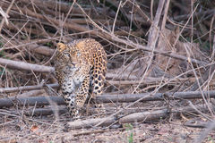 Leopard walking gracefully Royalty Free Stock Photography