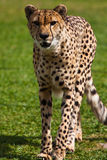 Leopard walking on the grass Stock Photos