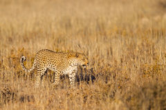 Leopard walking in grass Stock Photos