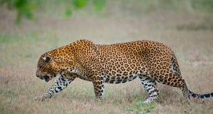 Leopard walking on the grass. Sri Lanka. Royalty Free Stock Photos
