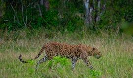 Leopard walking on the grass. Sri Lanka. Stock Photo