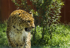 Leopard walking in grass Royalty Free Stock Photo