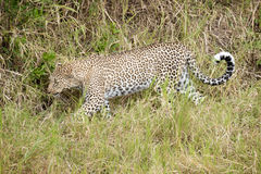 Leopard walking in grass Royalty Free Stock Photo