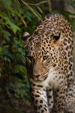 Leopard walking in greens Stock Images