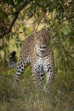 Leopard walking through long grass towards camera stock photos