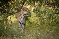 Leopard walking through long grass among trees royalty free stock photography