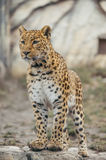 Leopard. Walking outdoor, nature wildlife stock images