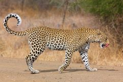 Leopard walking on the road. Leopard (Panthera pardus) walking on the road after a meal in nature reserve in South Africa Stock Photo