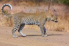 Leopard walking on the road Stock Images