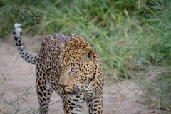 Leopard walking in the sand in Kruger. Royalty Free Stock Images