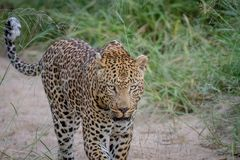 Leopard walking in the sand in Kruger. Royalty Free Stock Photos
