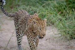 Leopard walking in the sand in Kruger. Stock Images