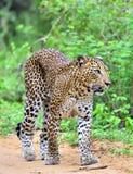 Leopard walking on a sand road. The Sri Lankan leopard Panthera pardus kotiya. Yala national Park. Sri Lanka. Leopard walking on a sand road. The Sri Lankan royalty free stock photography