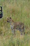 Leopard walking in the savanna in Serengeti National Park Royalty Free Stock Images