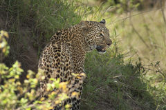 Leopard Royalty Free Stock Photo
