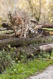 Leopard walking. On some tree trunks Stock Image
