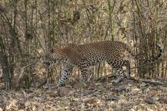 Leopard walking at Tadoba Tiger reserve Maharashtra,India. Asia royalty free stock images