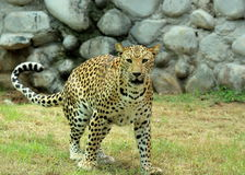 Leopard walking towards the camera Royalty Free Stock Image
