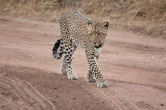 Leopard walking on a trail in the savannah. Serengeti Stock Photography