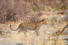 Leopard walking in the wild Royalty Free Stock Images