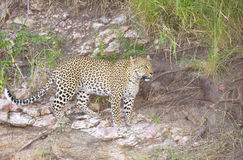 Leopard walking in wilderness Royalty Free Stock Photo